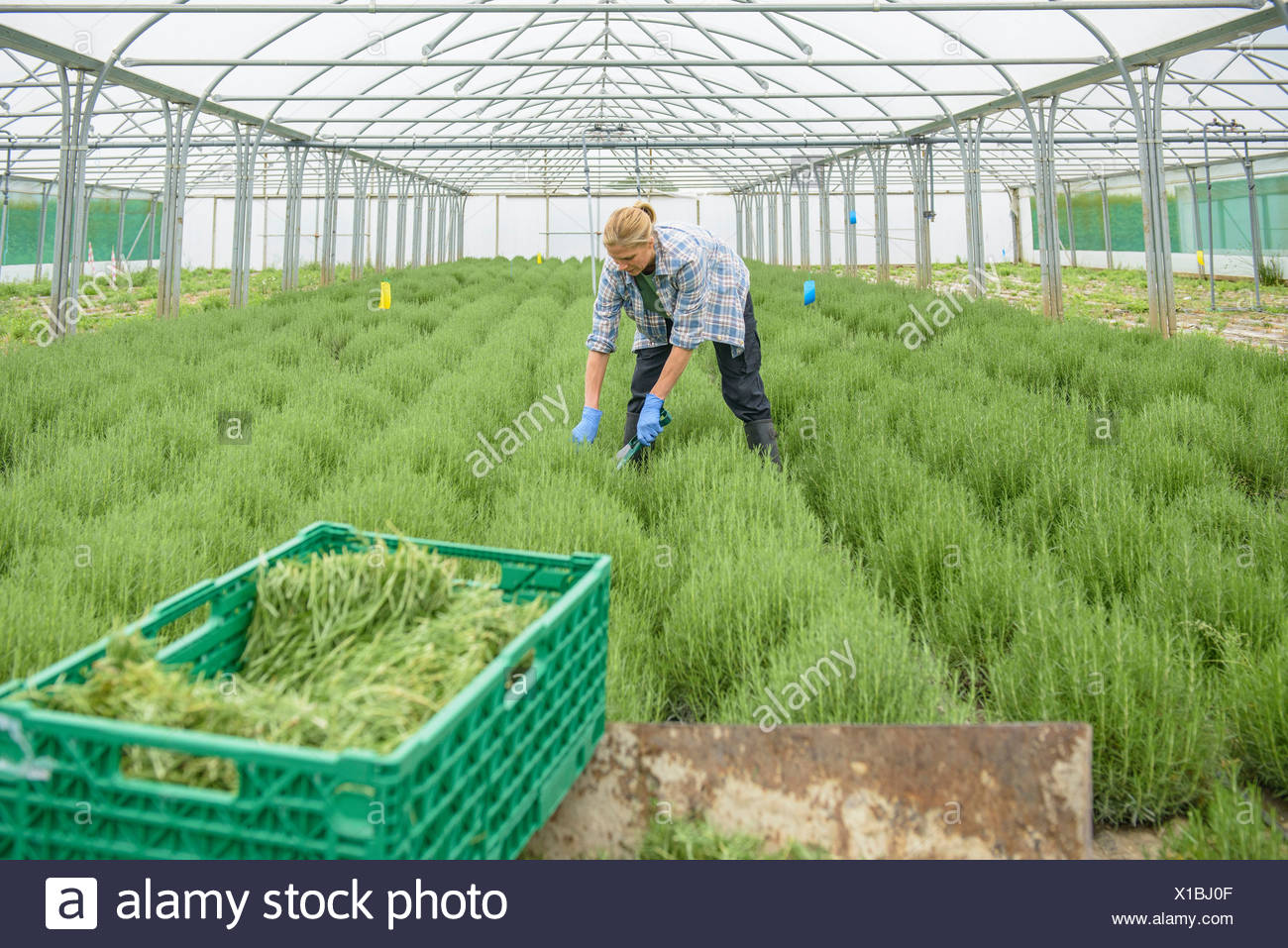 Woman harvesting rosemary - Stock Image