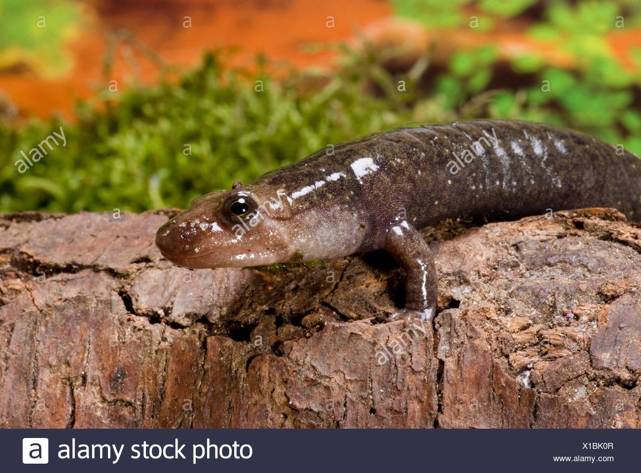 Desmognathus Fuscus