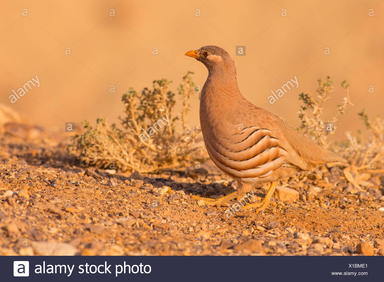 sand partridge (Ammoperdix heyi) is a gamebird in the pheasant family Phasianidae of the order Galliformes, gallinaceous birds. Photographed in Israel - Stock Image