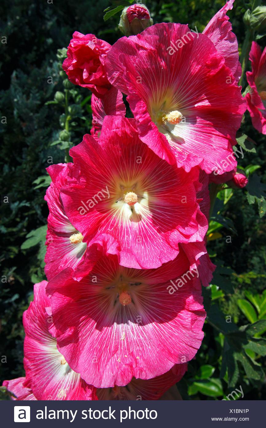 Red Common Hollyhock (Alcea rosea) (Althaea rosea) Stock Photo