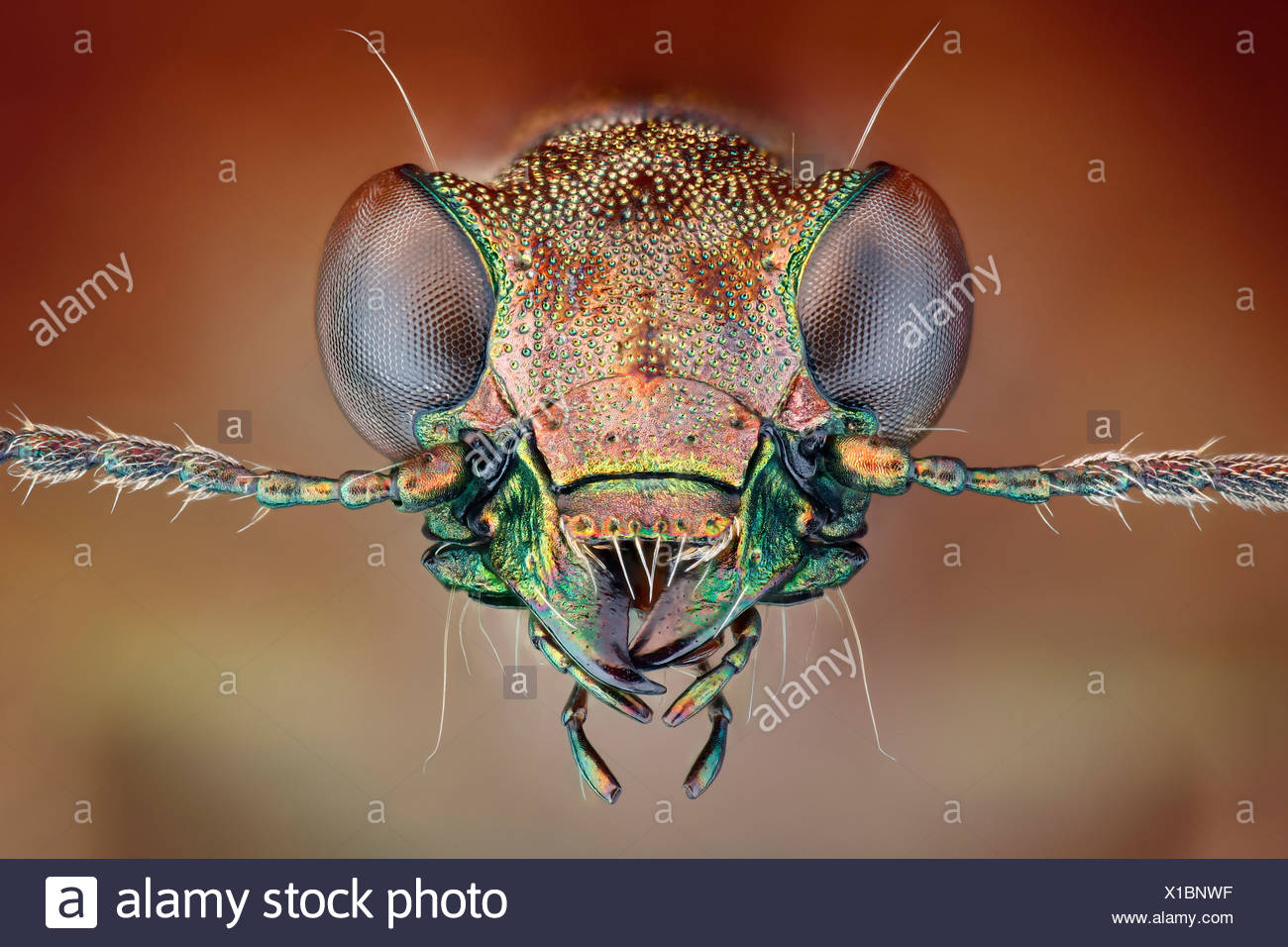 Head of a ground beetle Elaphrus, extreme close-up - Stock Image
