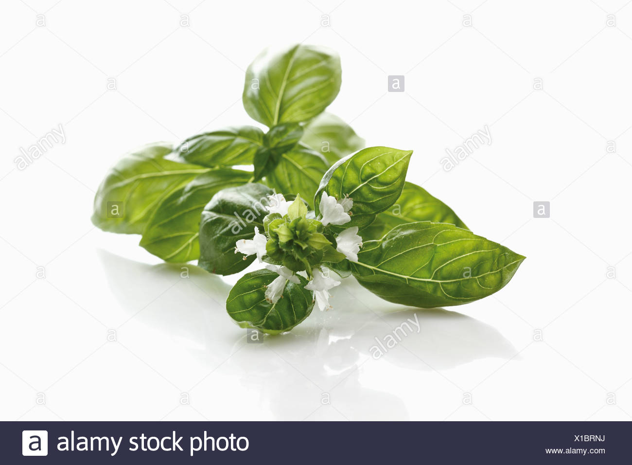 Fresh basil (Ocimum basilicum) - Stock Image