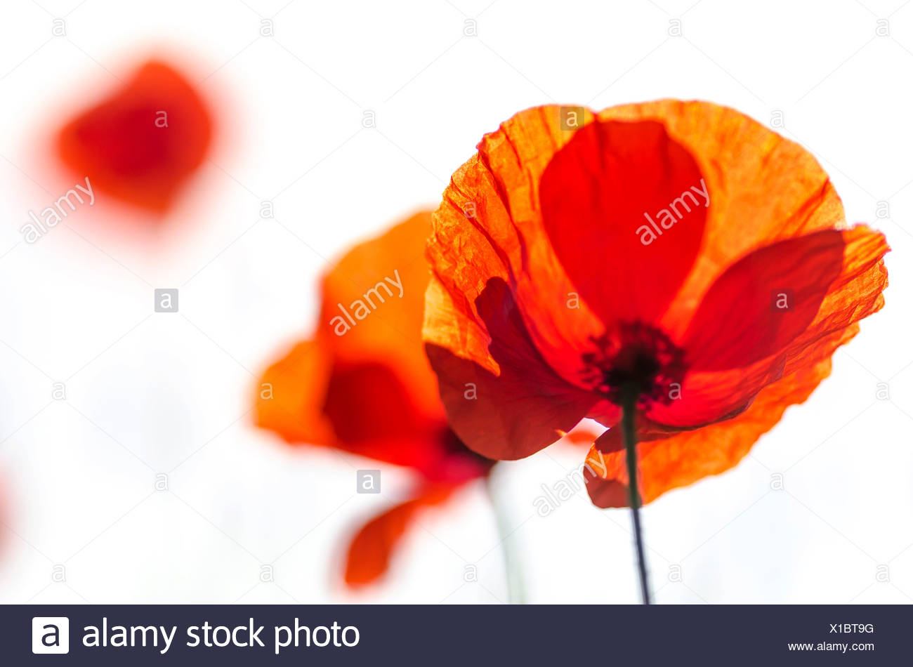Corn Poppy (Papaver rhoeas), flowers, Germany - Stock Image