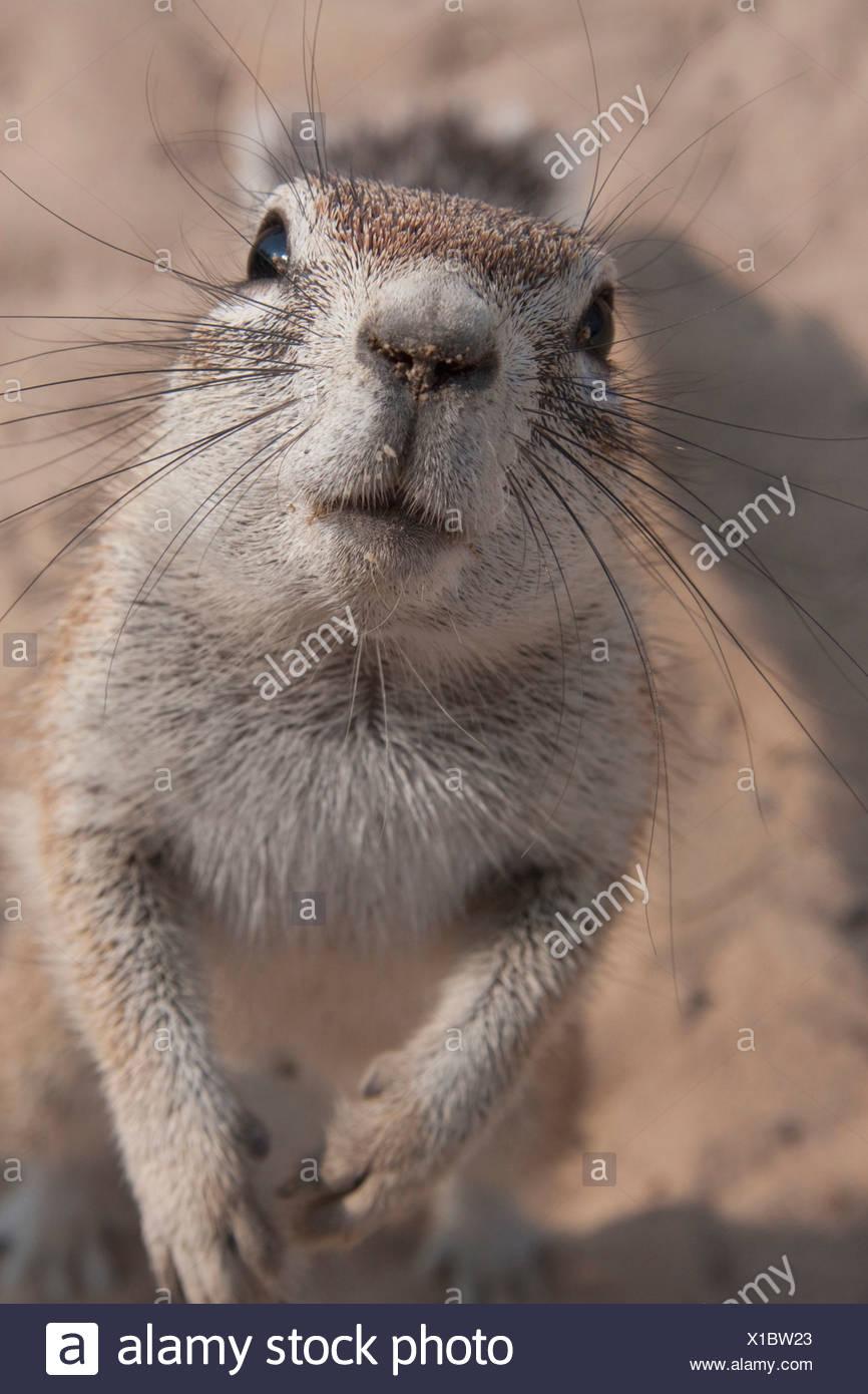 A Ground Squirrel (Xerus inauris) in the Central Kalahari Game Reserve, Botswana. - Stock Image