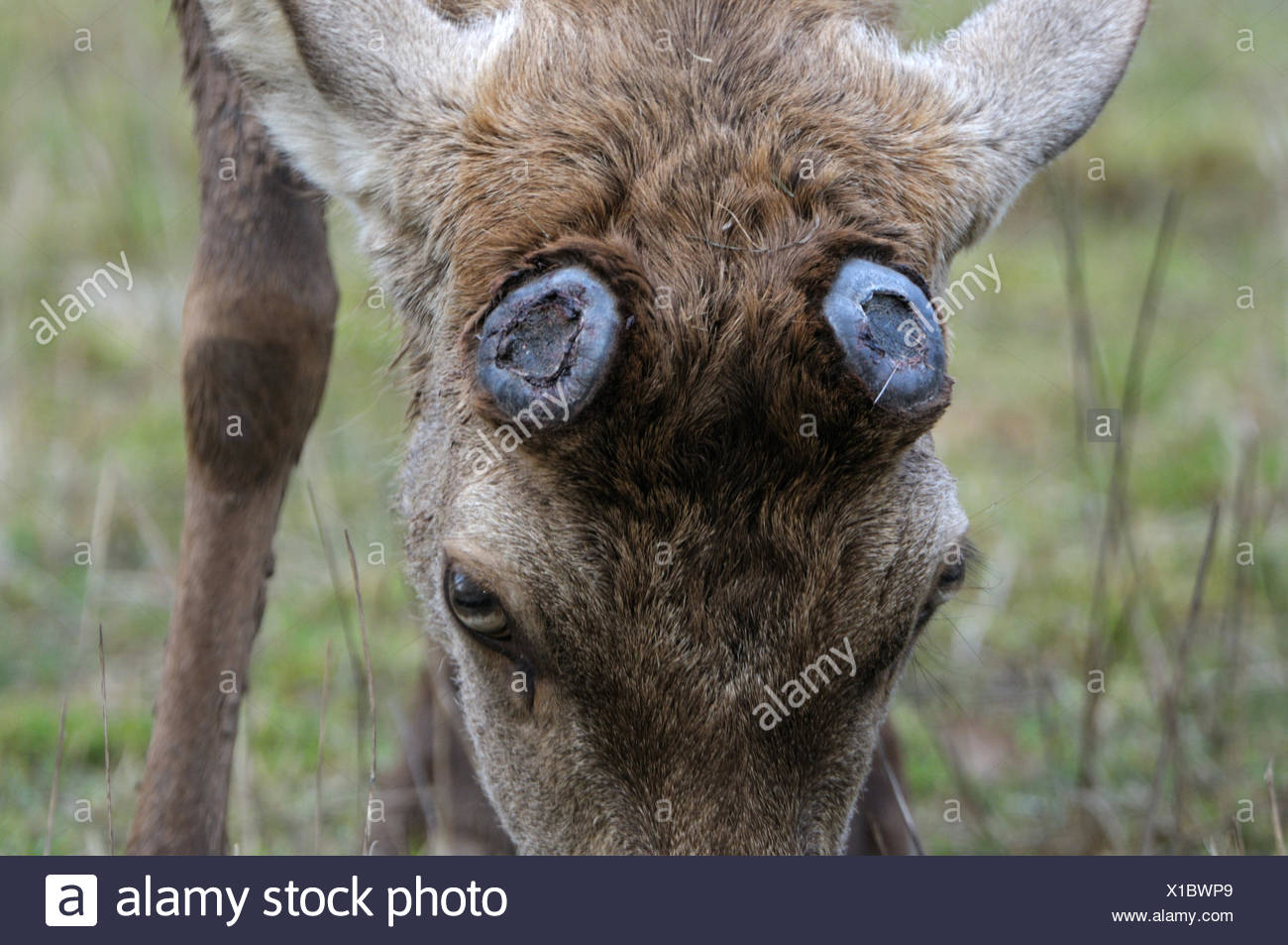 Red deer, antlers, antler, Cervid, bast, velvet, deer, spring, dropped, animal, animals, Germany, Europe, - Stock Image