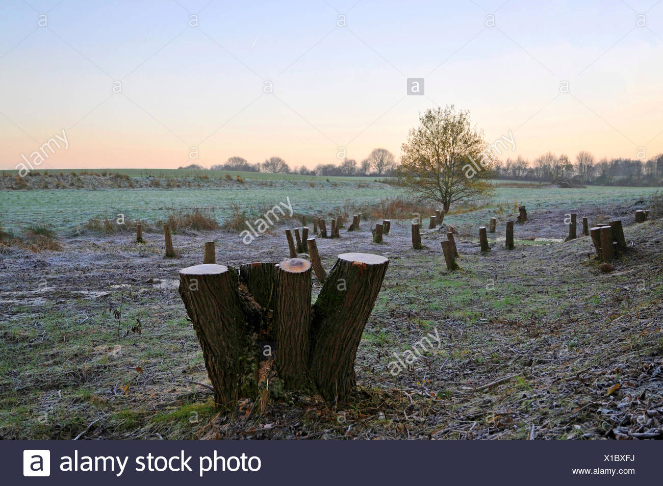 willow, osier (Salix spec.), retention basin with cutted trees, Germany, North Rhine-Westphalia - Stock Image
