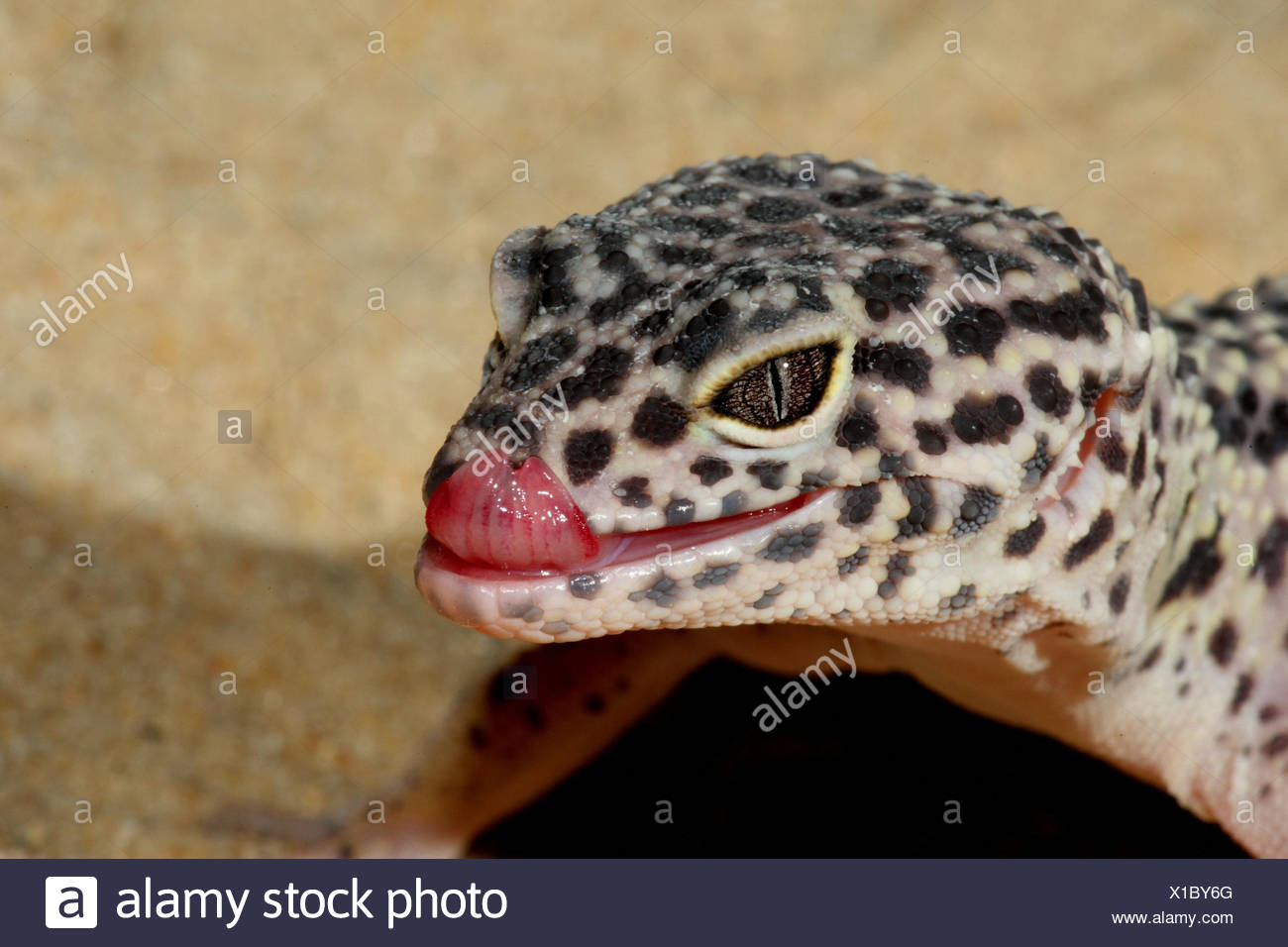 Leopard's gecko, portrait, side view, panther's gecko, gecko, landscape format, reptiles, animal, tongue, wild animal, Wildlife, Asia, - Stock Image