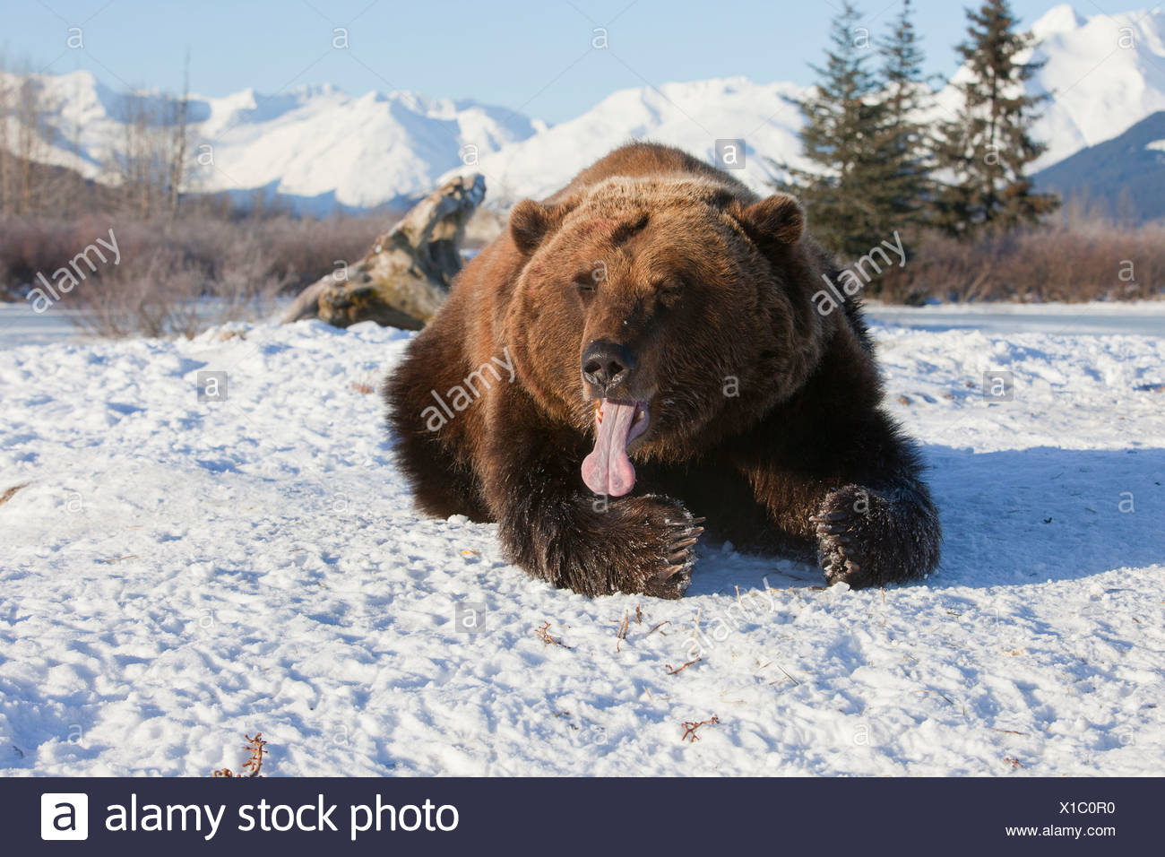 CAPTIVE: Grizzly laying in snow and has its long tongue sticking out, Southcentral Alaska - Stock Image