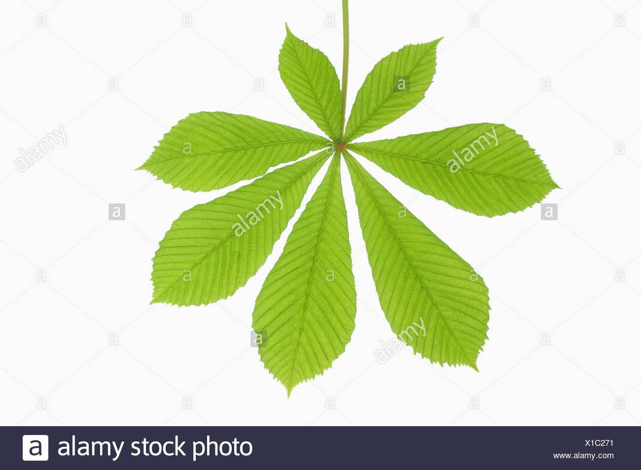 Horse Chestnut leaf (Aesculus hippocastanum), close-up - Stock Image