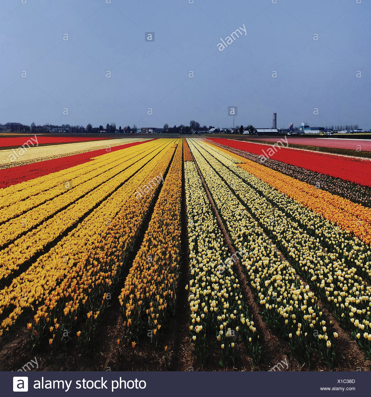 Netherlands, Multi colored field with tulips - Stock Image
