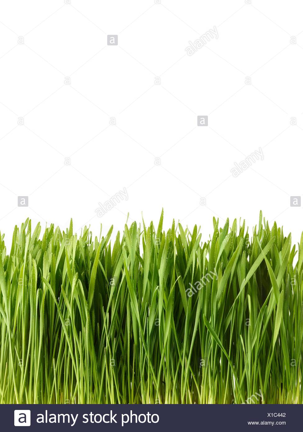Sprouting wheatgrass against a white background, side view. - Stock Image