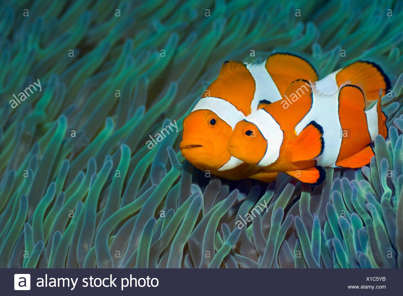 False clown anemonefish (Amphiprion ocellaris) pair, female with smaller male swimming past sea anemones, Misool, Raja Ampat, West Papua, Indonesia Stock Photo