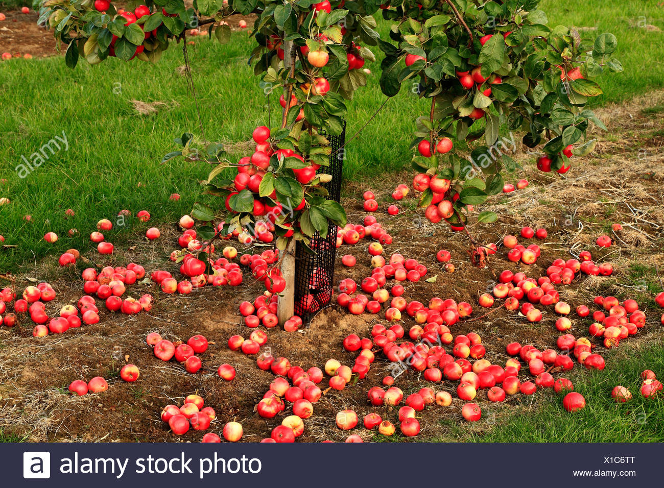 Fallen Apples on the ground, 'Red Miller's Seedling', malus domestica, apples variety varieties growing on tree Norfolk England Stock Photo