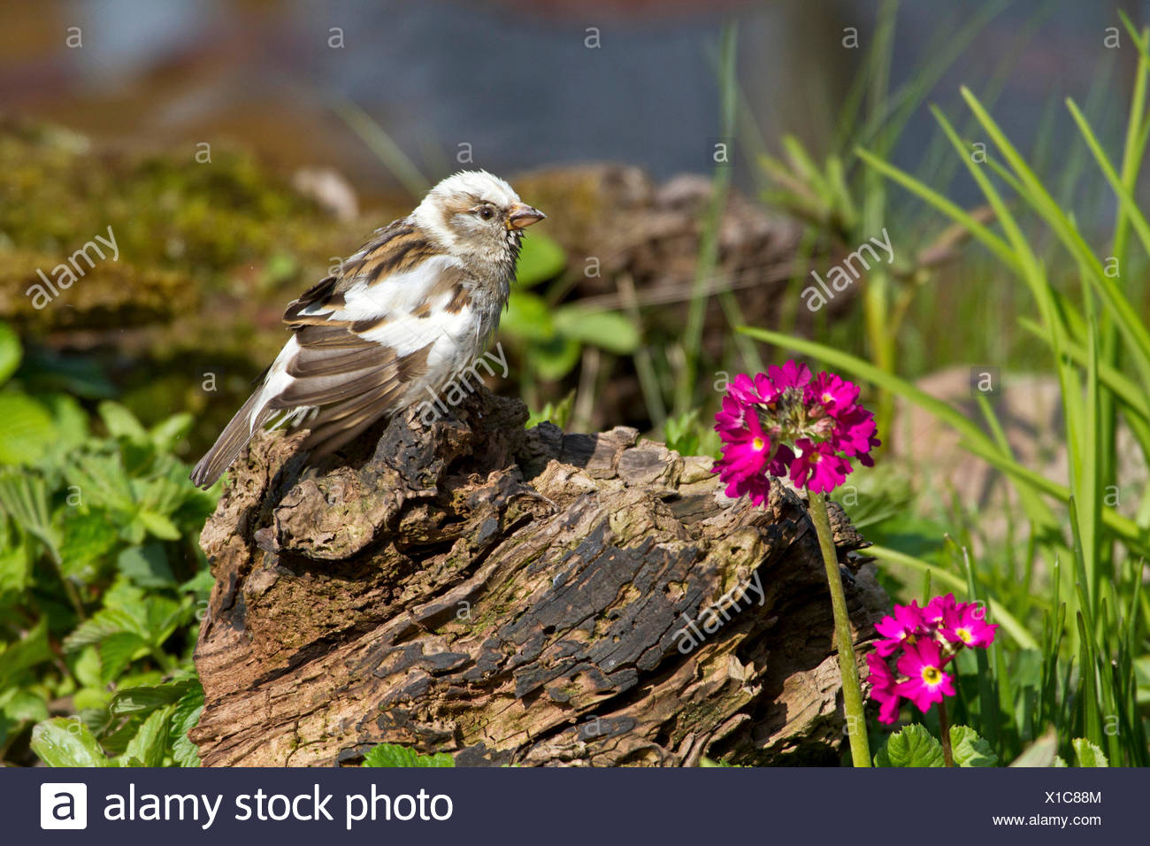 house sparrow (Passer domesticus), partial albinotic female at the creek, Germany - Stock Image