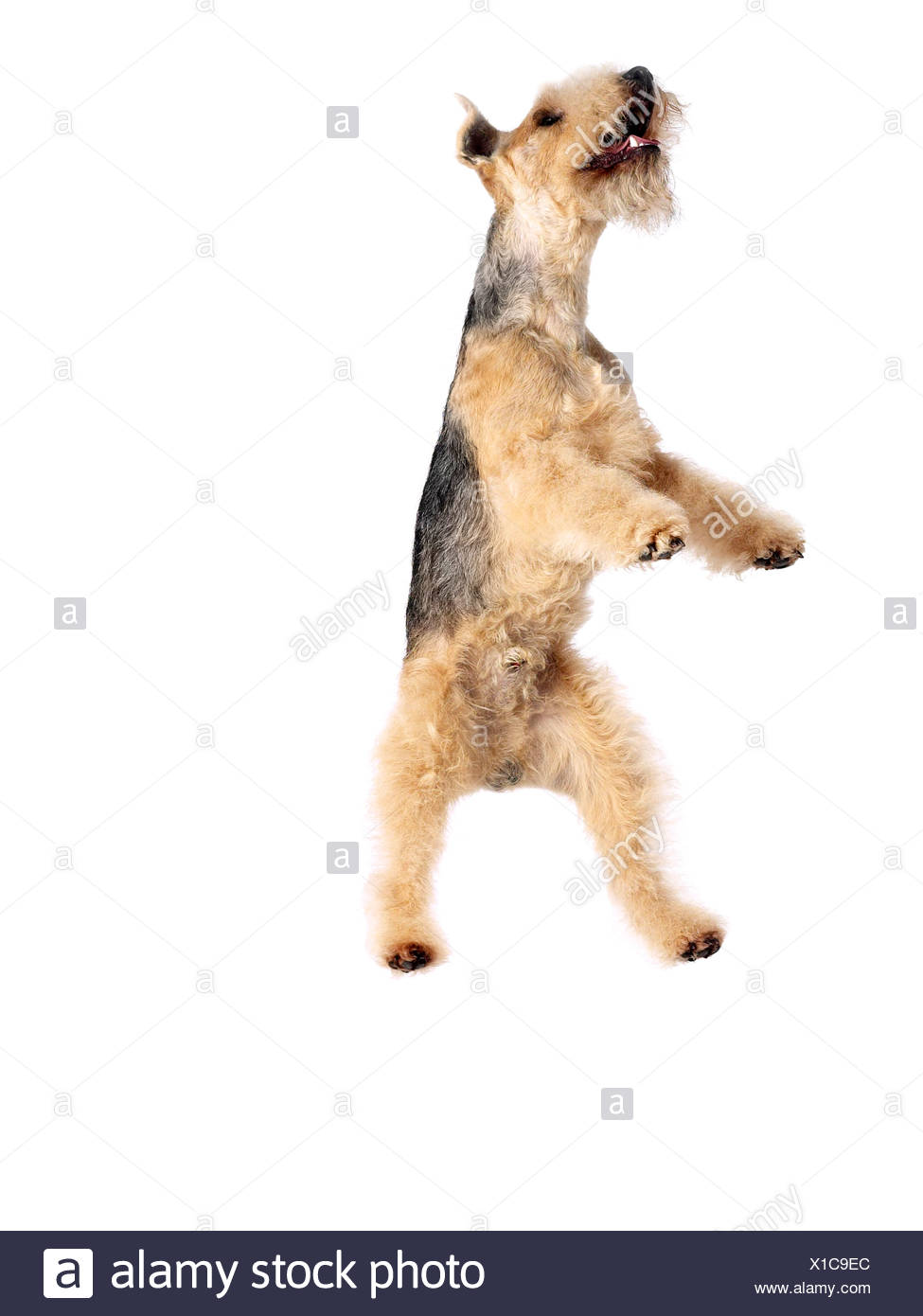 A lakeland terrier jumping in the air. - Stock Image