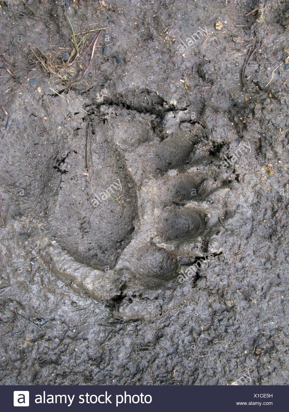 Footprint, American black bear (Ursus americanus), Yellowstone National Park, Wyoming, USA, North America - Stock Image