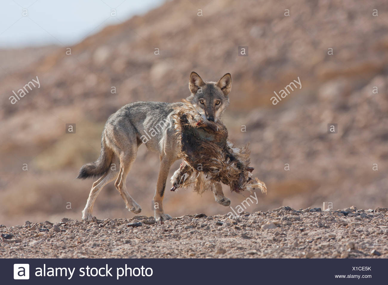 Arabian wolf (aka desert wolf Canis lupus arabs). with prey. This wolf is  subspecies of gray wolf. Photographed in Israel, Nege - Stock Image
