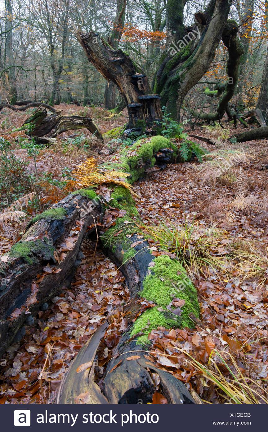 autumnal primeval forest, herrenholz, vechta district, niedersachsen, germany - Stock Image