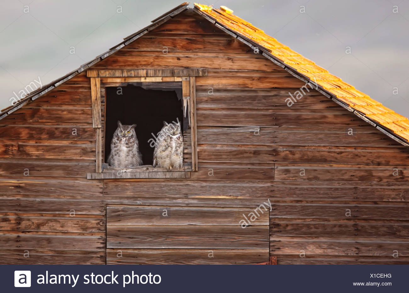 Two mature Great Horned Owls sitting in old barn ...