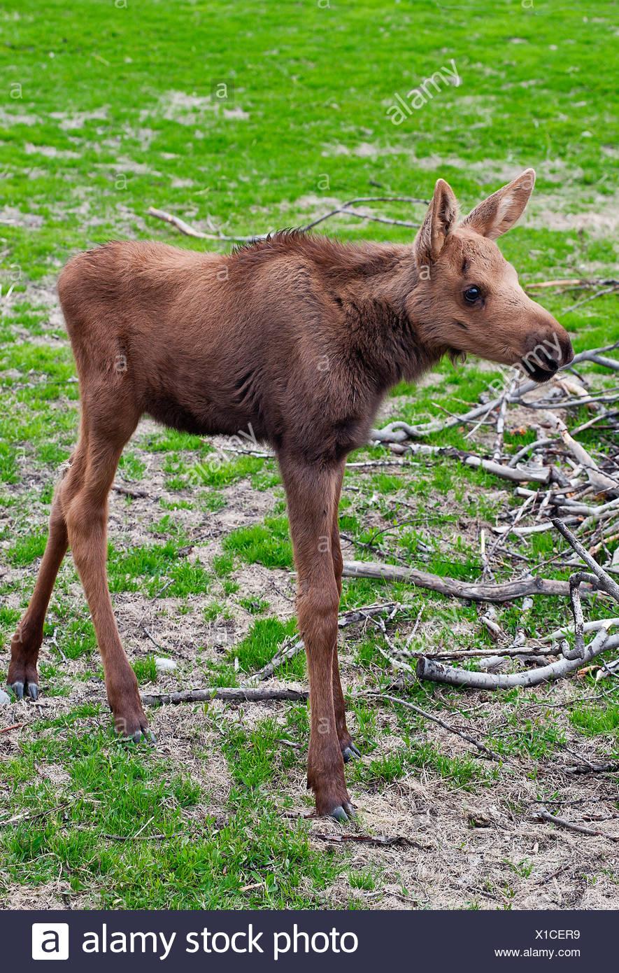 Young moose, Alaska, USA - Stock Image