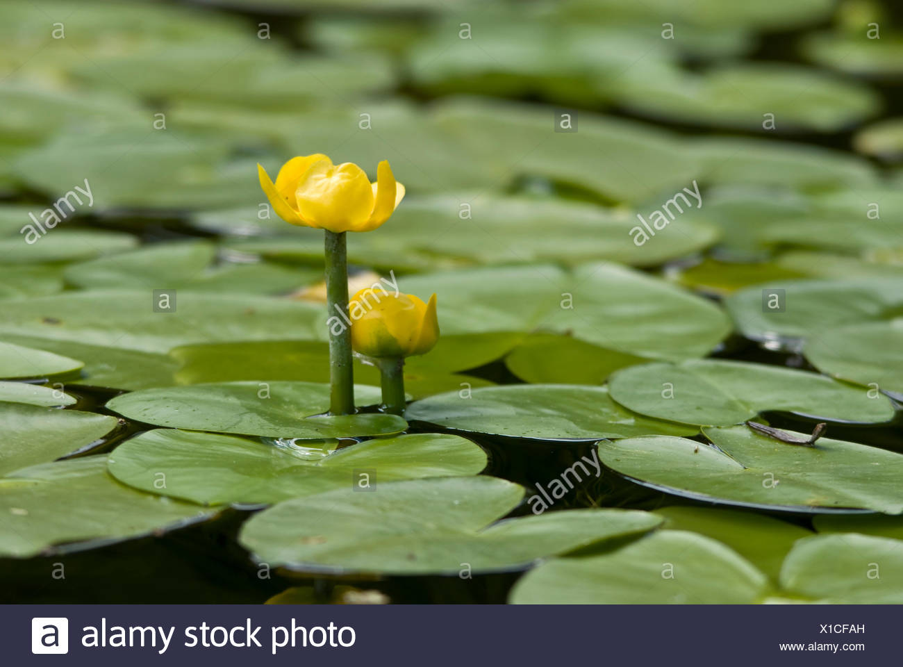 European Yellow Pond Lily Yellow Water Lily Nuphar Lutea With