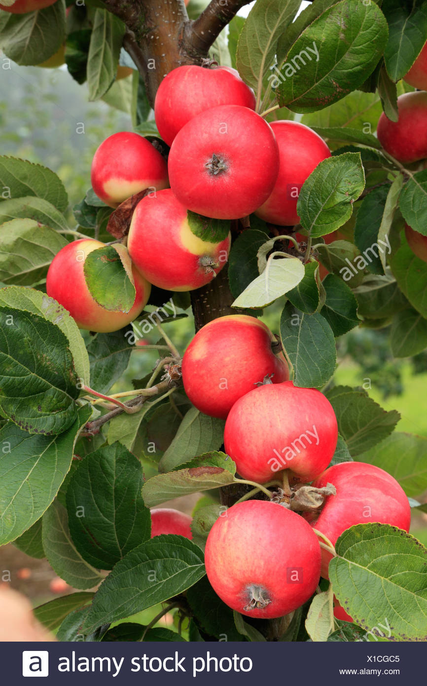 Apple, 'Red Miller's Seedling', variety growing on tree, fruit red apples England UK - Stock Image