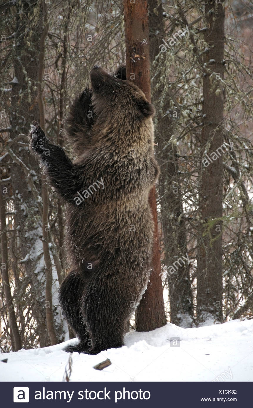 Grizzly Bear (Ursus arctos) rubbing against a tree trunk to deposit/acquire scent. Fishing Branch River Ni'iinlii Njik Ecologica - Stock Image
