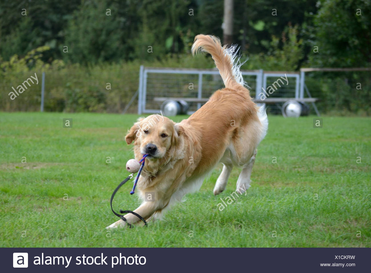 Golden Retriever retrieves ball - Stock Image