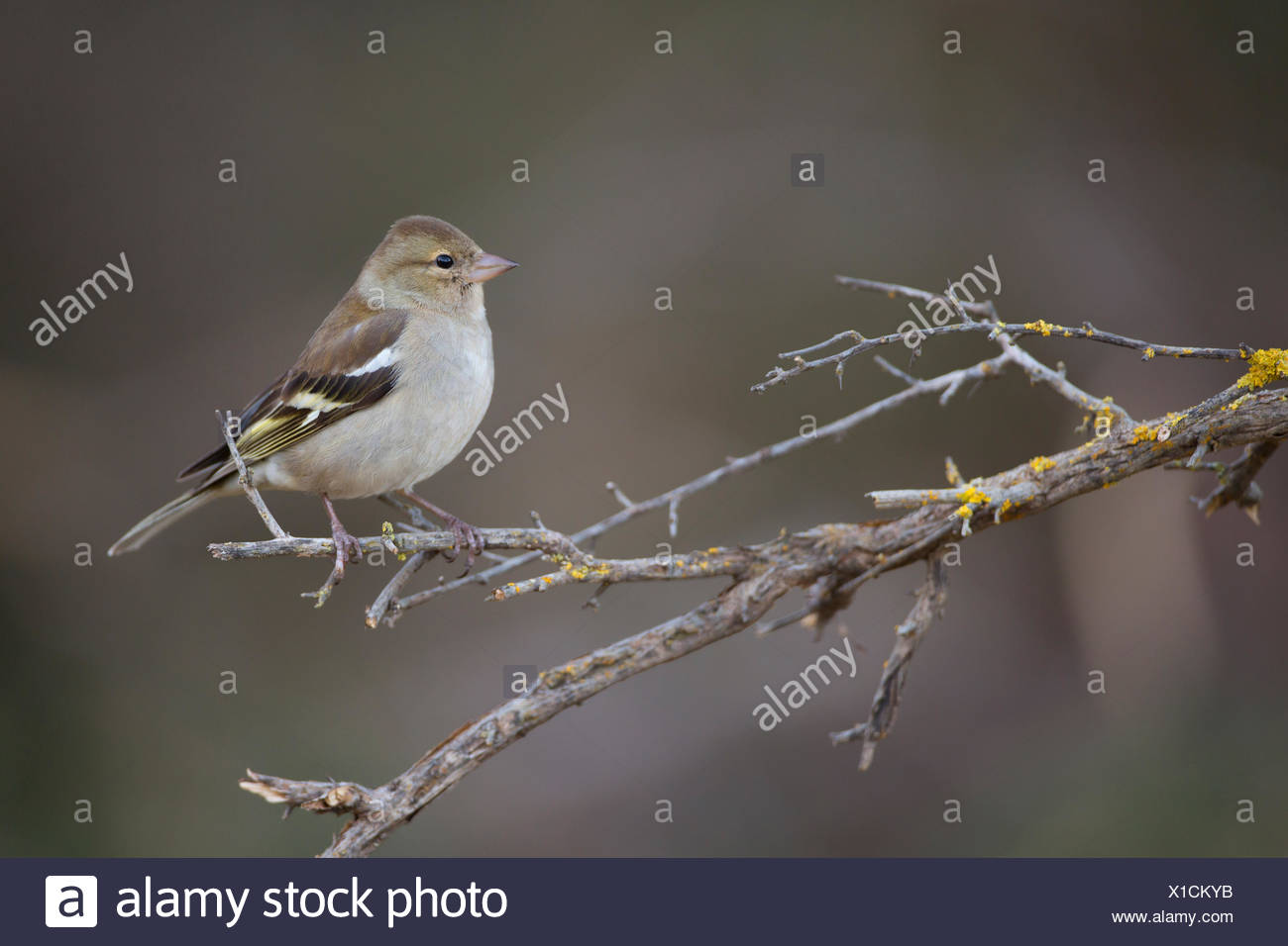 Female common chaffinch (Fringilla coelebs) perched on a branch. Chaffinches are partial migratory birds that eat mainly seeds. - Stock Image