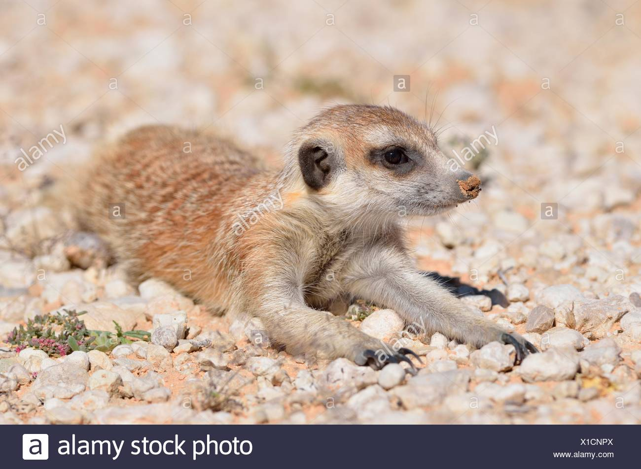 Meerkat (Suricata suricatta), young male, lying down on gravel, Kgalagadi Transfrontier Park, Northern Cape, South Africa - Stock Image