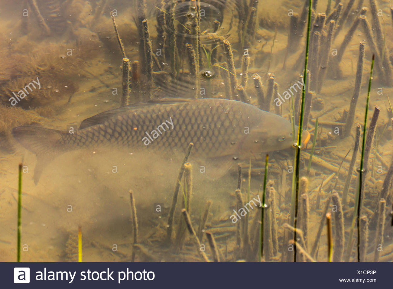 carp, common carp, European carp (Cyprinus carpio), carp dabbles at the bottom, Germany, Bavaria Stock Photo
