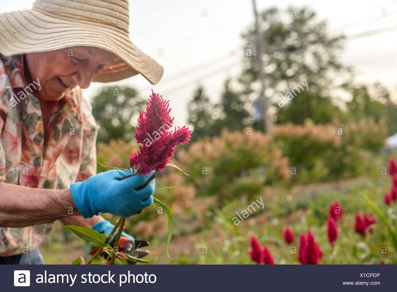 Senior woman harvesting and trimming flowers on farm - Stock Image