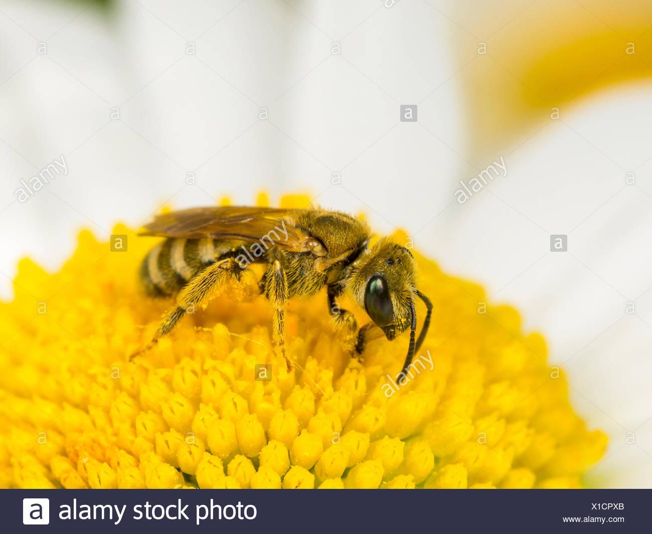 Sweat bee (Halictus confusus), female foraging foraging on oy-eye daisy (Leucanthemum vulgare), Germany - Stock Image