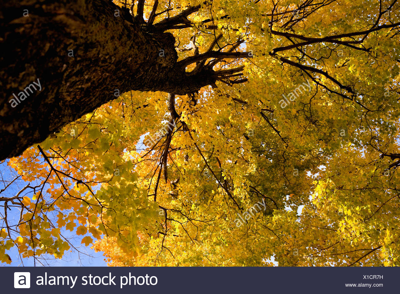 Yellow leaves on a tree - Stock Image