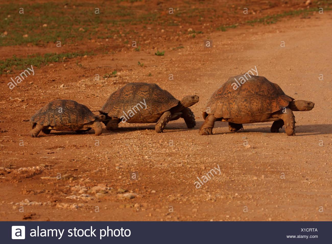leopard tortoise (Geochelone pardalis), familiy, South Africa, Eastern Cape, Addo Elephant National Park - Stock Image