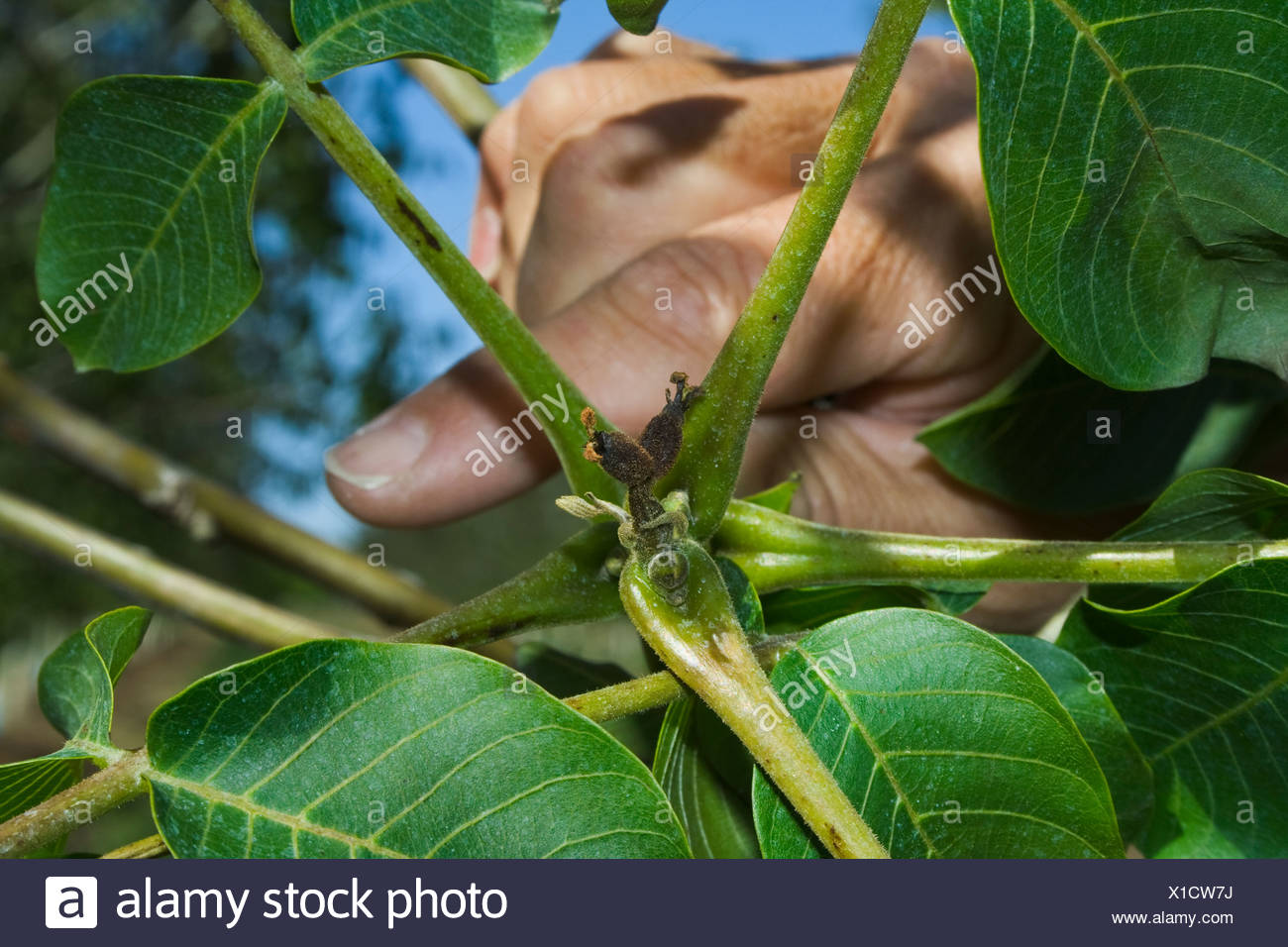 Agriculture - Killed immature walnuts caused by a heavy unusual Spring freeze / near Dairyville, California, USA. - Stock Image