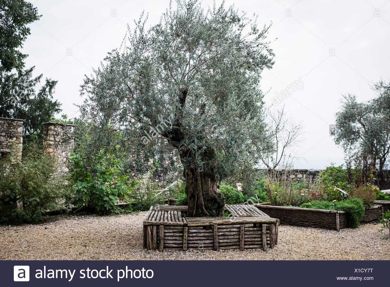 Olive Tree In The Garden Of A Medieval Castle, Angera, Italy   Stock Image