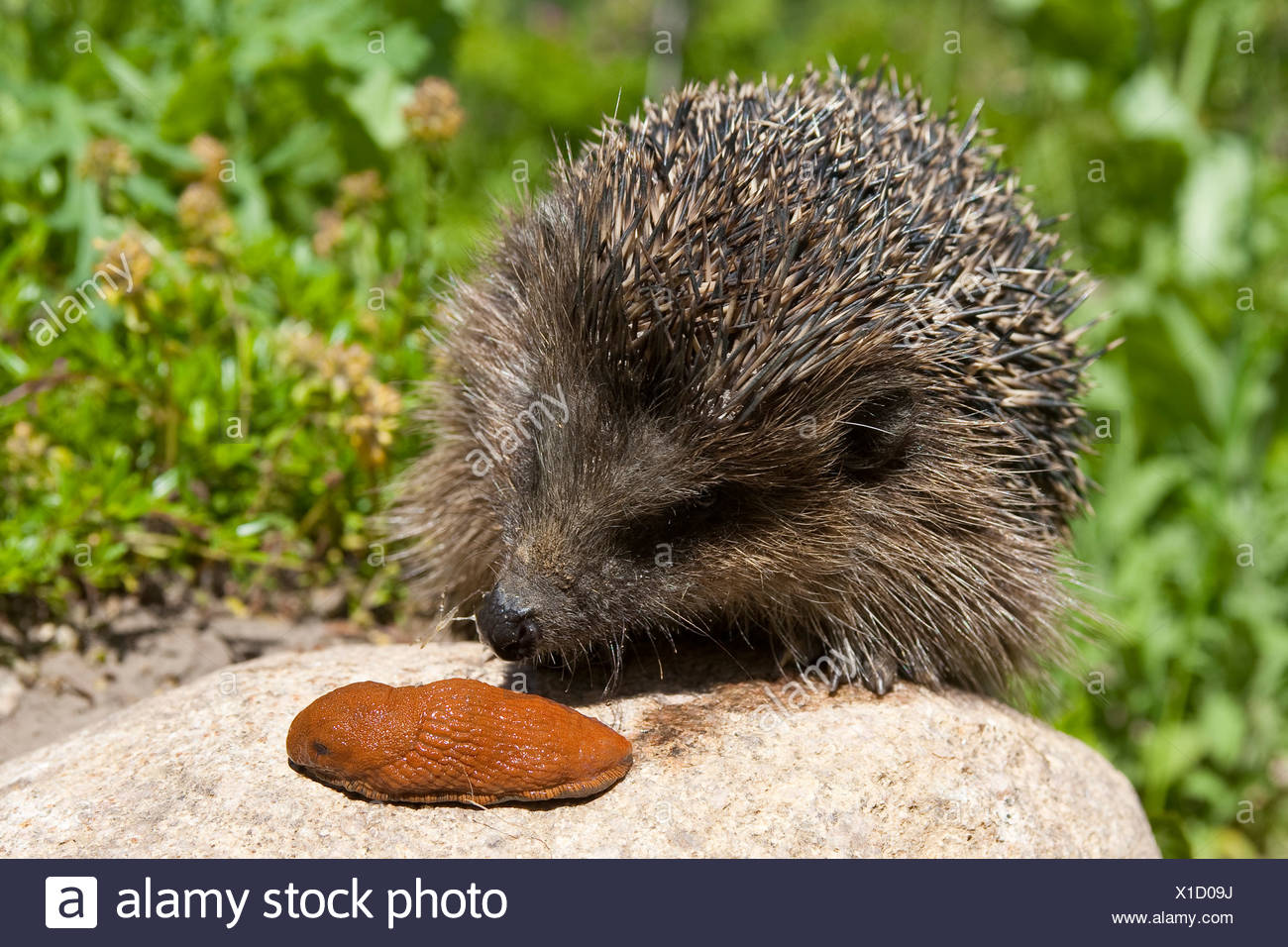 western hedgehog, European hedgehog (Erinaceus europaeus), with roundback slug, Germany - Stock Image