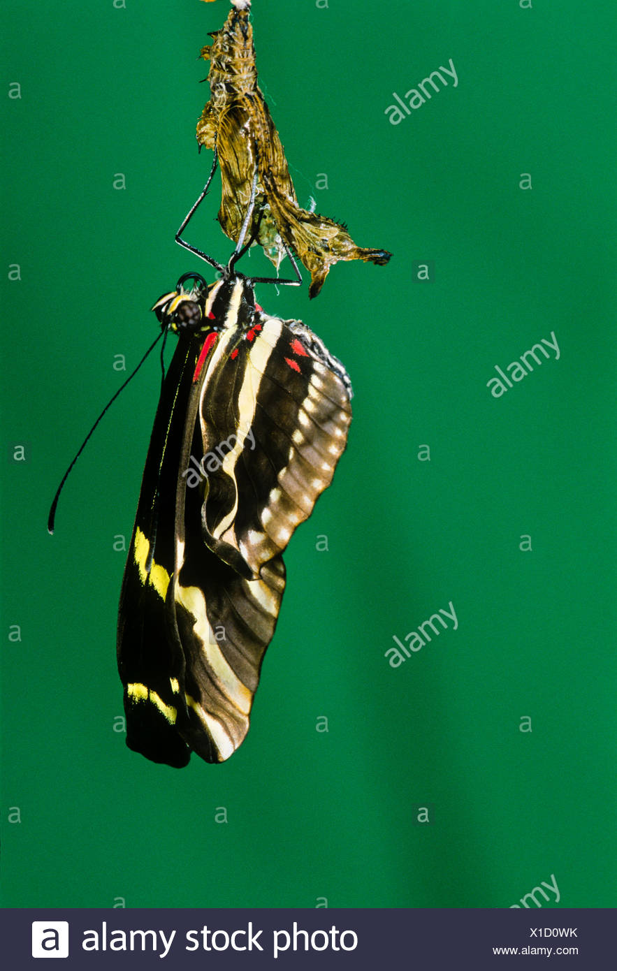 Zebra-longwing Butterfly, (Heliconius charitonius), emerging from pupal stage, ventral view, Costa Rica - Stock Image