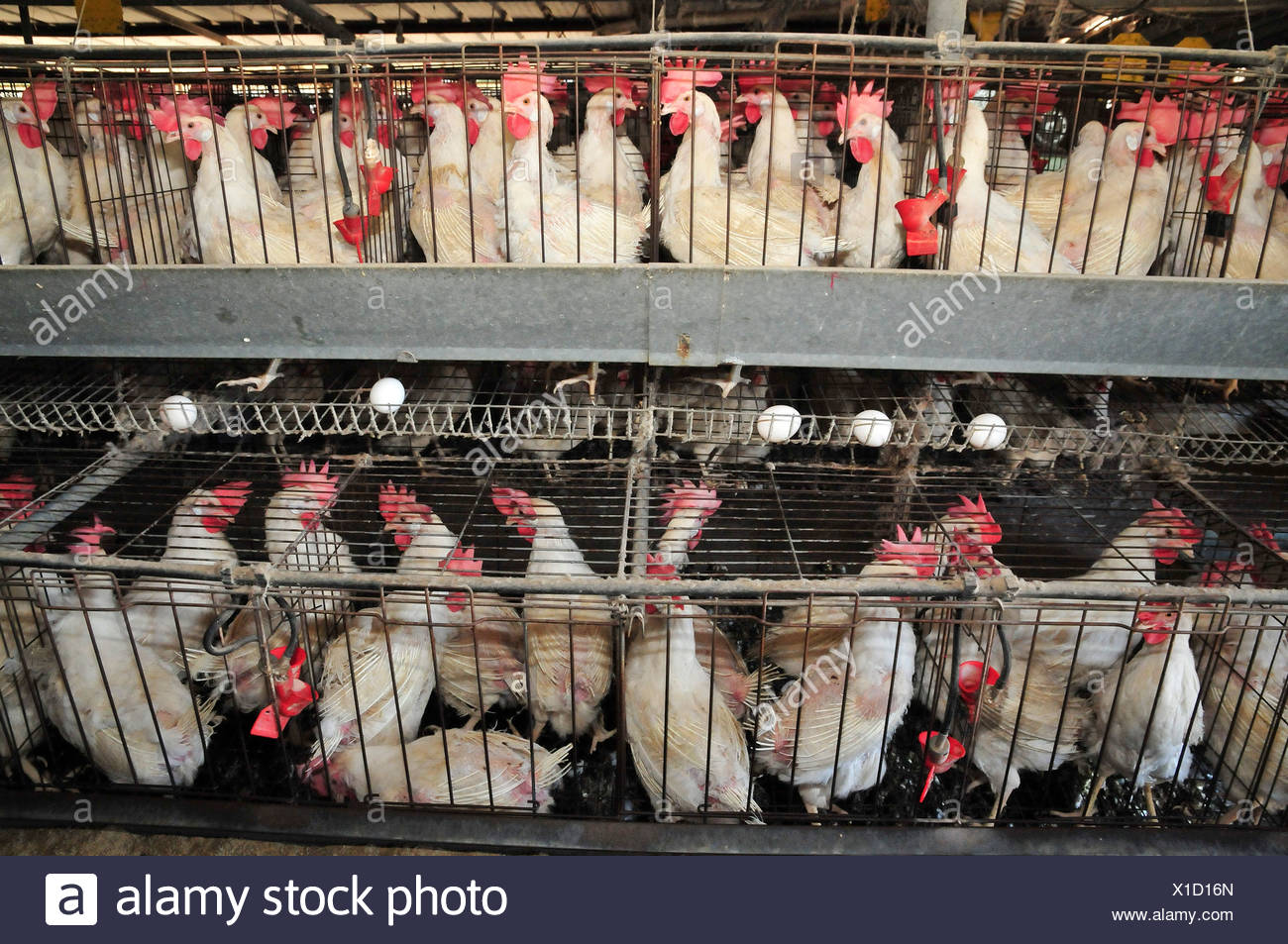 Egg farming. Hens in a battery Photographed in Israel Stock Photo