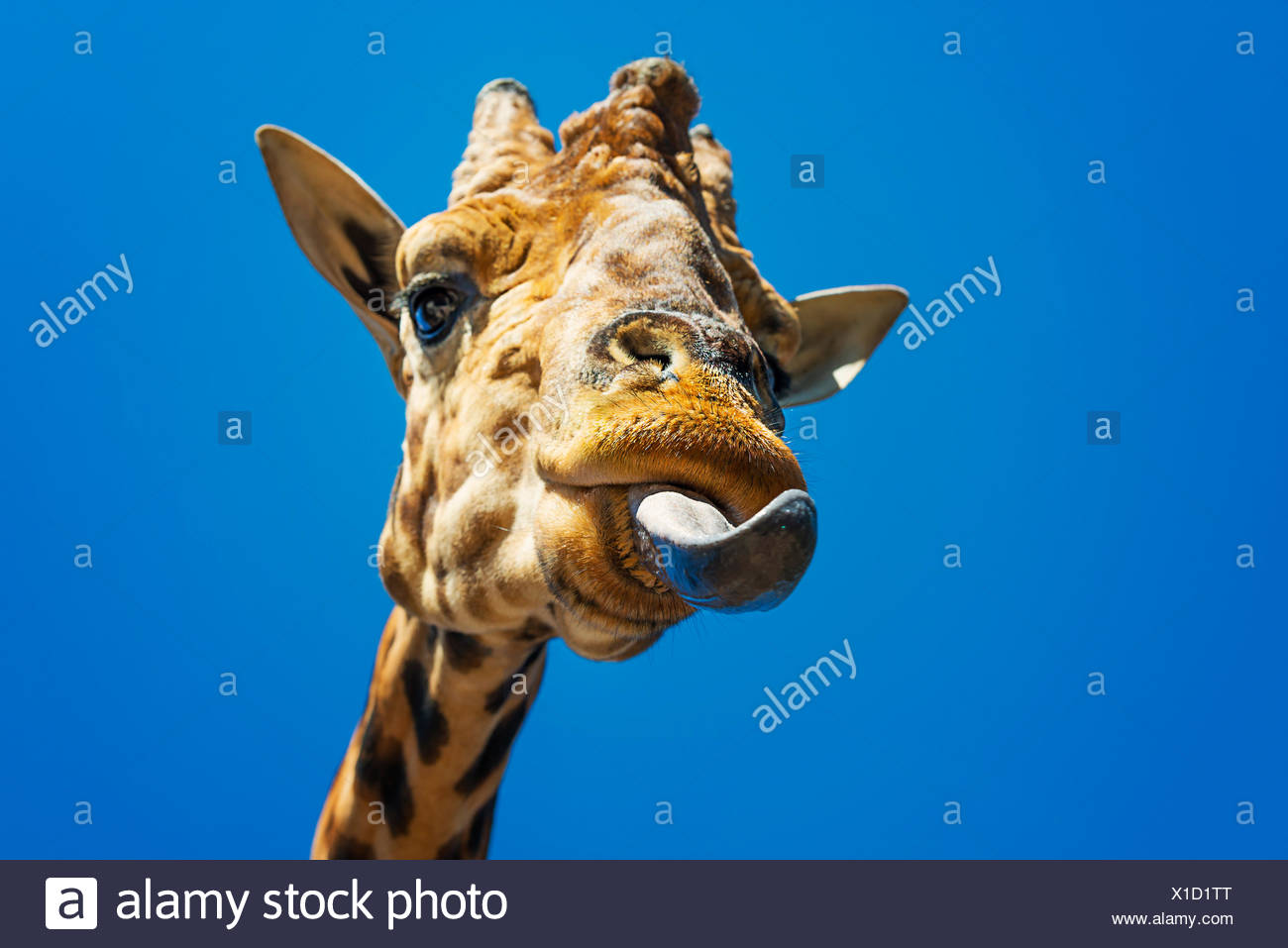 Giraffe licking its lips - Stock Image
