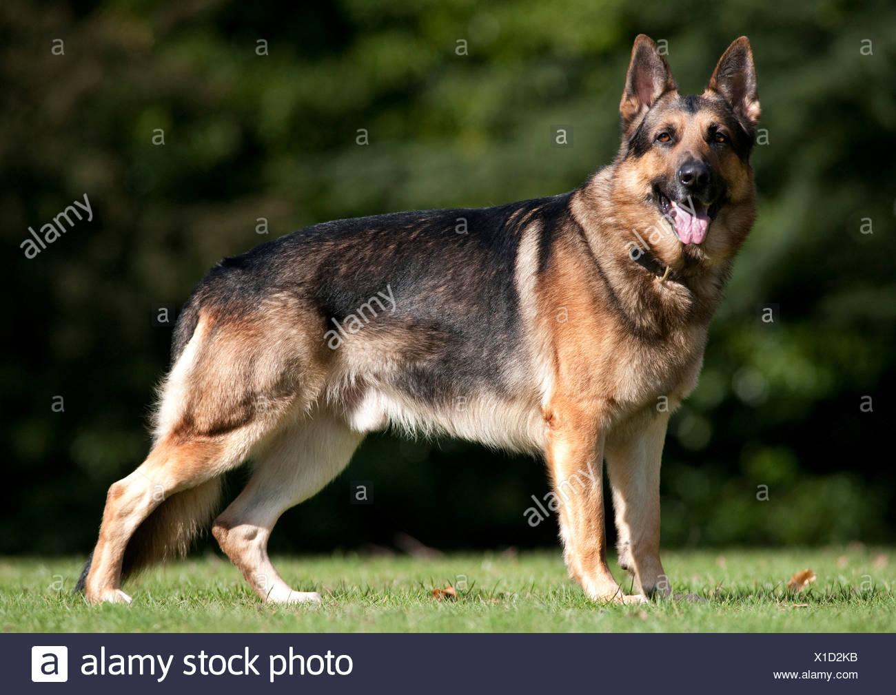 German Shepherd Dog Alsatian Standing in park UK - Stock Image