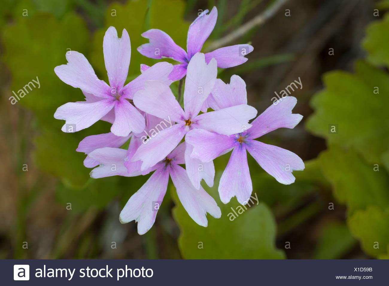 Wildflower, Illinois Wild and Scenic River, Siskiyou National Forest, Oregon. Stock Photo