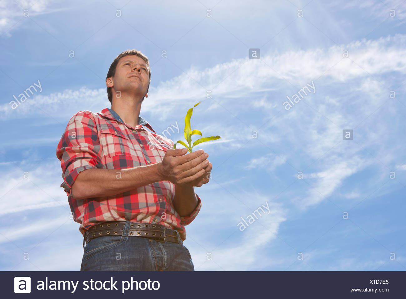 Farmer cupping corn seedling - Stock Image