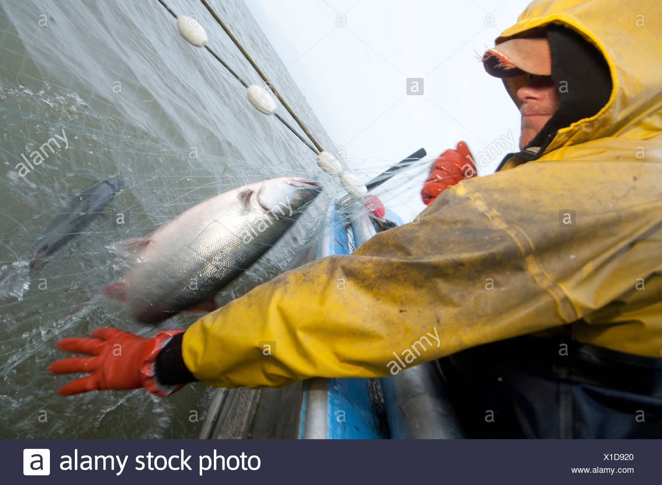 Commercial fisherman picks sockeye salmon off a set net in the Naknek River, Bristol Bay, Alaska, Summer - Stock Image