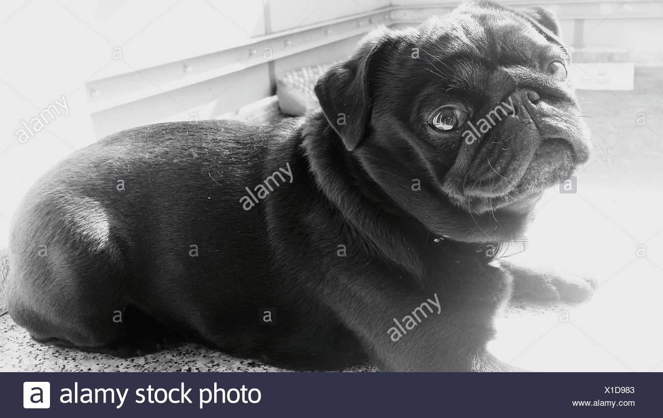 Black Pug Sitting At Home - Stock Image
