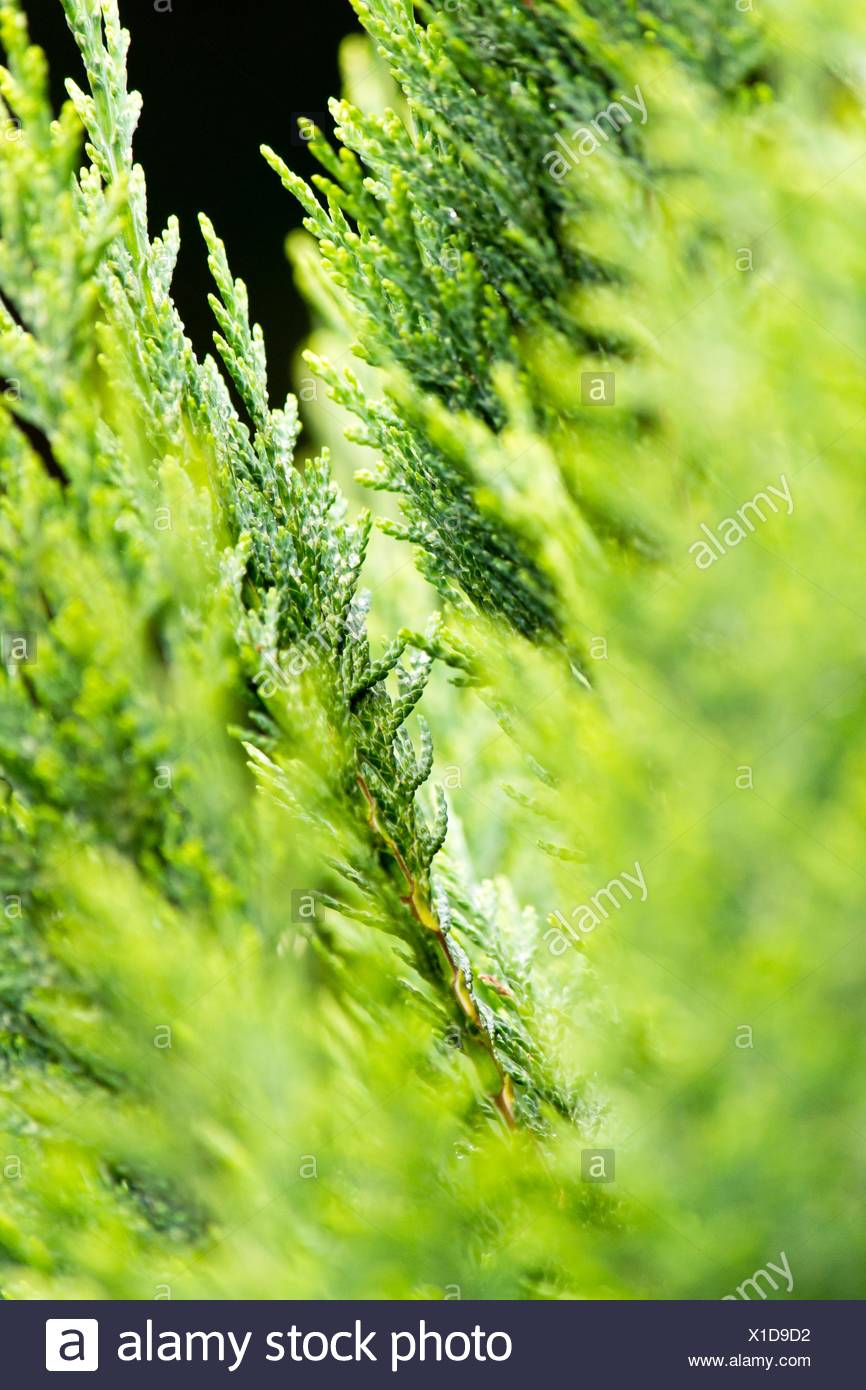 Conifer - Stock Image