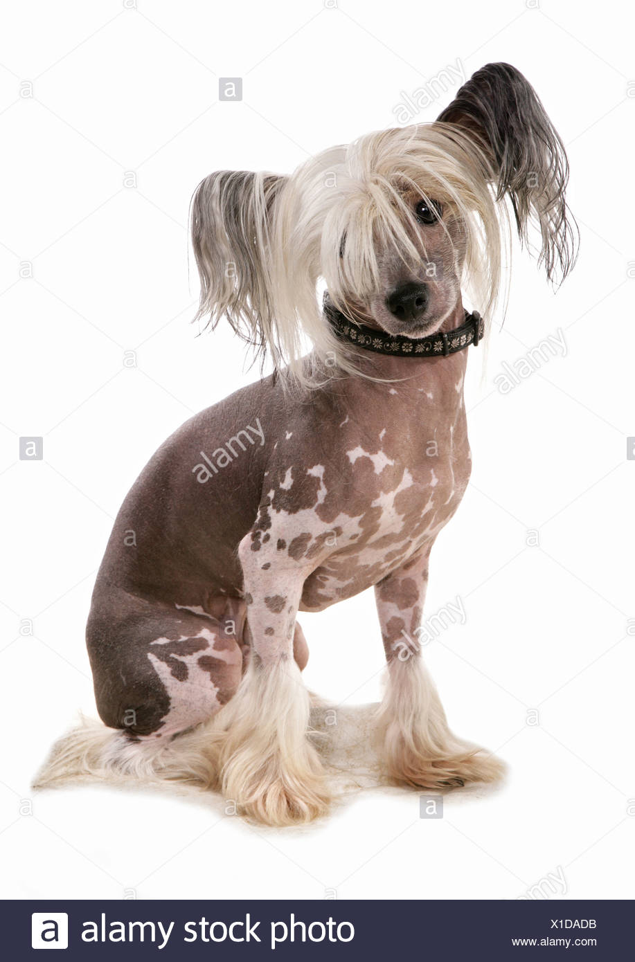 Chinese Crested dog - sitting - cut out - Stock Image