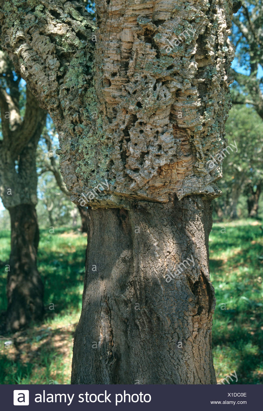 Cork trees, Alentejo, Portugal, Europe Stock Photo