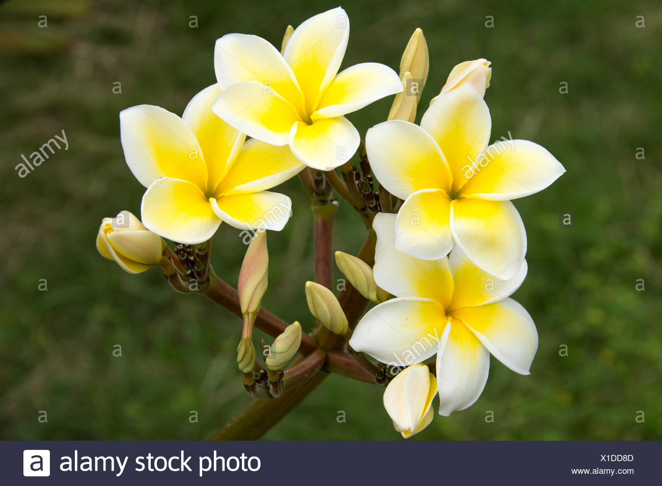 Plumeria flowers maui hawaiian islands usa stock photo 276276349 plumeria flowers maui hawaiian islands usa izmirmasajfo